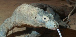 O sangue do dragón de Komodo podería albergar un composto con propiedades cicatrizantes. Foto: Mark Dumont / CC BY 2.0.