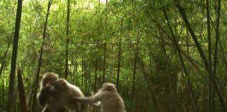 Grupo de monos en Fukushima. Fonte: Universidade de Georgia.