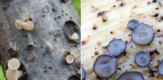 """""""Calycina cortegadensis"""" e """"Mollisia cortegadensis"""", especies de fungos descubertas en Cortegada. Foto: Saúl de la Peña / Ambiosol."""