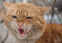 Os científicos estudaron os patróns que seguían os gatos ao alimentarse dos cadáveres.