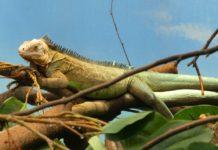 As iguanas sofren cando as temperaturas baixan demasiado.