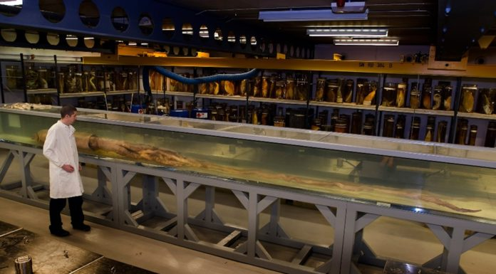 Un dos individuos 'kraken', conservado nos tanques do Centro Darwin de Londres. Fonte: Natural History Museum.