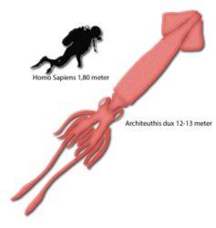 Comparativa do tamaño do 'kraken' respecto a un humano. Fonte: Universidade de Copenhague.