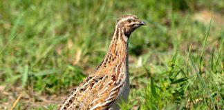 A poboación de paspallás experimentou un notable declive nos últimos anos. Foto: SEO/Birdlife.