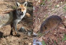 O raposo é un dos principais depredadores da rata toupa. Fonte: Wikicommons.