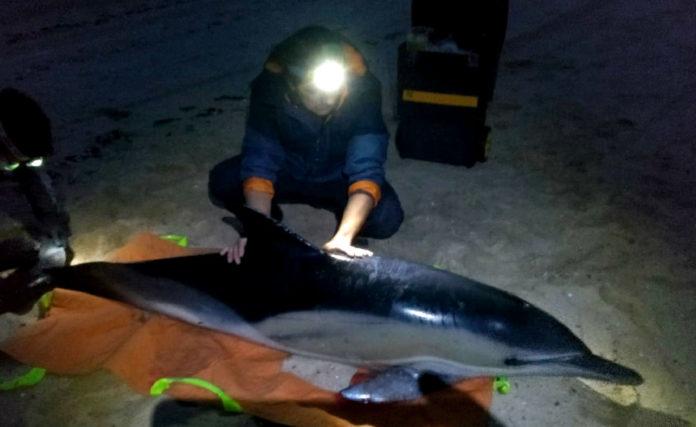 Rescate dun dos tres golfiños atopados en Arousa a pasada fin de semana. Foto: Cemma.