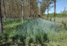 Ensaio de plantación de centeo baixo nogueiras desenvolvido en Arzúa, ao abeiro do proxecto Afclima, financiado pola Axencia Estatal de Investigación, no que participa a EPS de Lugo. Foto: USC.
