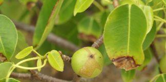 "Detalle da froita e as follas da ""Hippomane mancinella"". Foto: Hans Hillewaert/CC BY-SA 3.0"