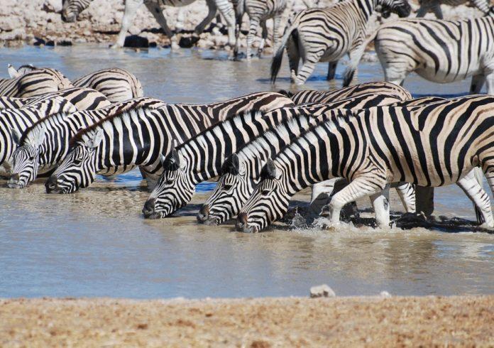Un grupo de cebras bebe auga na sabana.
