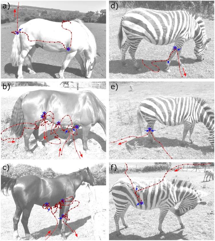 Exemplos de traxectorias dos voos de tabáns arredor de cabalos domésticos (a-c) e de cebras (d-f). A liña vermella indica o patrón de voo, os puntos vermellos a posición a intervalos dunha décima de segundo e as frechas vermellas a dirección do voo. As estrelas azuis amosan puntos de contacto ou de aterraxes no animal. As frechas azuis mostran a posición final da aproximación e a posición inicial das fases de saída do voo. Estes marcadores están asociados con manobras que mostran cambios tanto na dirección como na velocidade. Fonte: Caro et al., Imaxe cedida polo autor.