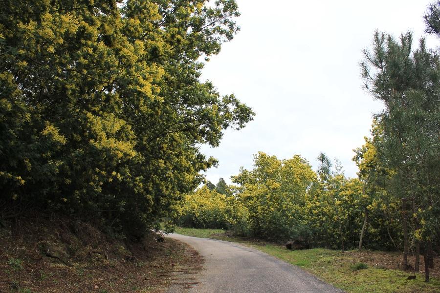 O avance da mimosa é patente á beira de moitas estradas do sur de Galicia. Foto cedida por Jonatan Rodríguez.