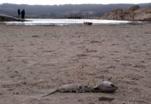 Restos dun muxe na zona taponada pola area, por onde a lagoa de Baldaio intercambiaba auga co mar. Foto: R. Pan.