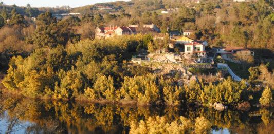 Invasión de mimosa (Acacia dealbata) á beira do Miño en Santa Cruz de Arrabaldo (Ourense). Foto: R. Pan.