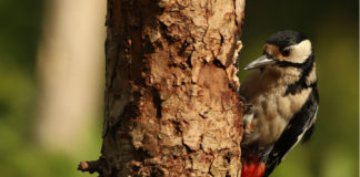Os picapaus pertencen á familia dos pícidos, da que existen máis de 200 especies.