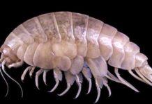 """""""Eurythenes plasticus"""", nova especie de crustáceo descrita por científicos británicos. Fonte: Zootaxa."""