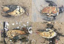 Varias das aves afectadas polos vertidos, atopadas na praia da Lanzada. Foto: BDRI.