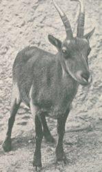 Un dos últimos exemplares vivos de cabra montesa galego-portuguesa, na serra do Xurés. Fonte: Hemeroteca Dixital da Cámara Municipal de Lisboa.