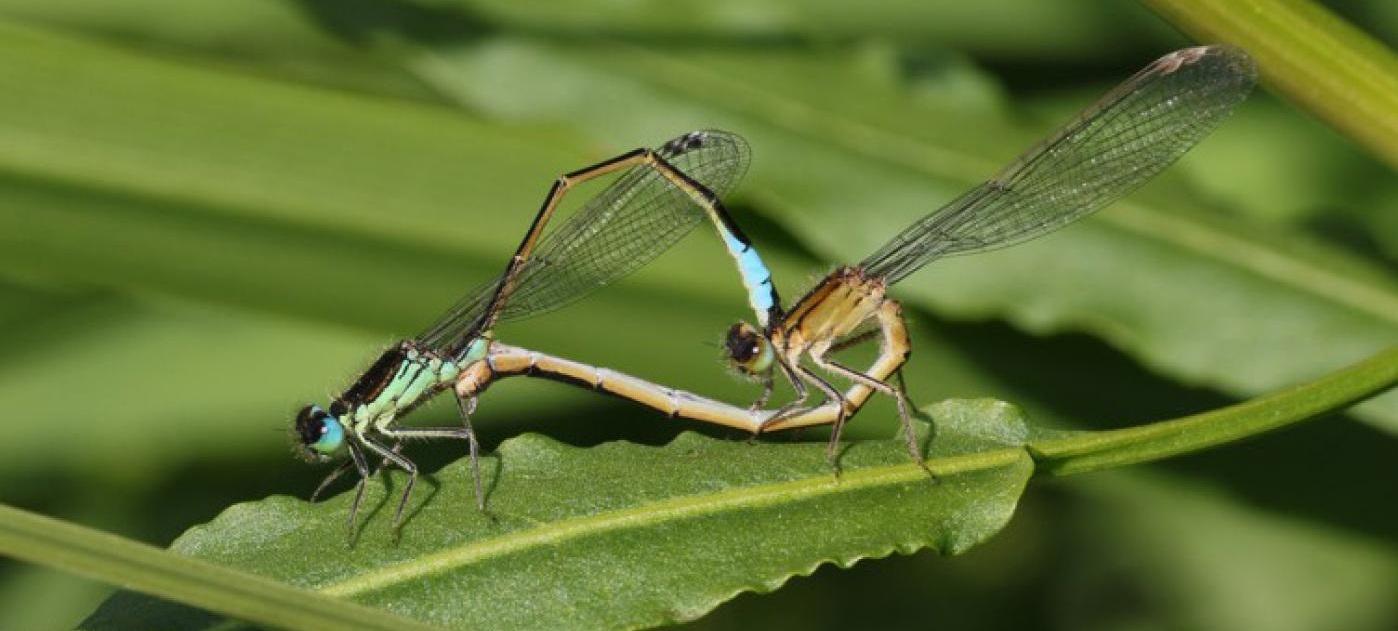 A 'Ischnura graellsii' foi unha das especies estudadas en Galicia. Foto: Adolfo Cordero.