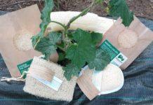 This is the final product of pumpkin sponges. Source: Ibérica de Esponjas Vegetales.