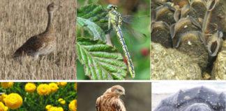 """De esquerda a dereita: sisón, o cabaliño do demo """"Gomphus graslinii"""", a náiade """"Margaritifera Margaritifera"""", a """"Santolina melidensis"""", o miñato real e a tartaruga de coiro, seis das especies consideradas en perigo de extinción en Galicia."""