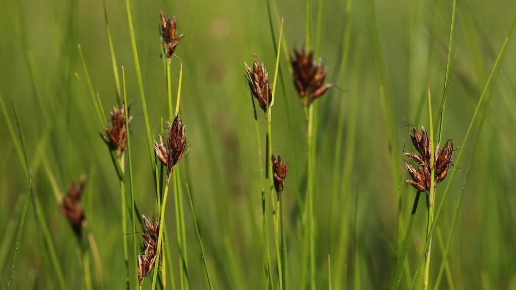 Rynchospora fusca. Fonte: Nehemie Meslage.