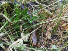 "Imaxe da serpe ""Zamenis longissimus"" tomada en Nogueira de Ramuín. Foto: J.M. Fariñas Álvarez/Braña."