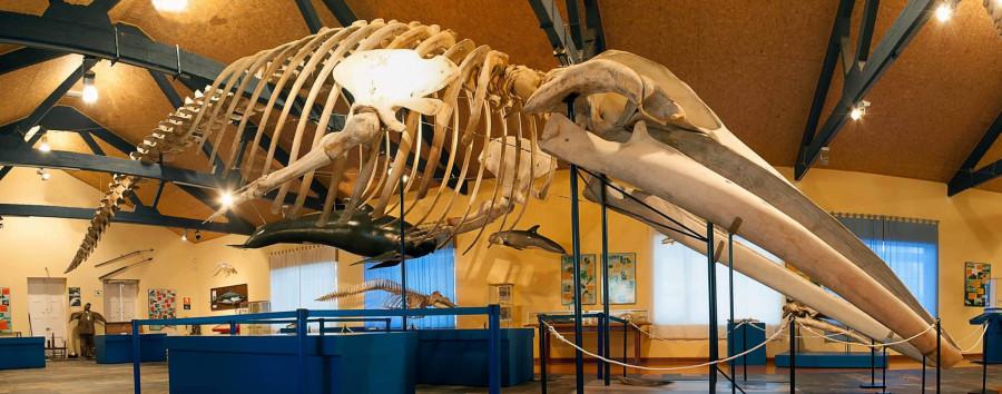 Esquelete de balea no Museo de Historia Natural de Ferrol. Foto: SGHN.