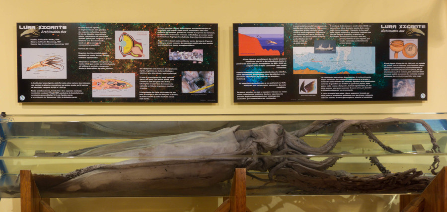 Lura xigante (Architeuthis dux) conservada no museo ferrolán. Foto: SGHN.