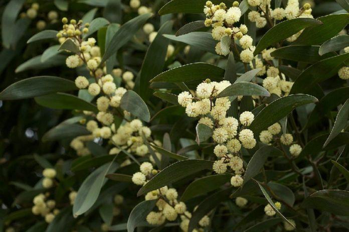 Detalle das flores da Acacia melanoxylon, coñecida como acacia negra. Foto: Eric in SF/CC BY-SA 3.0.