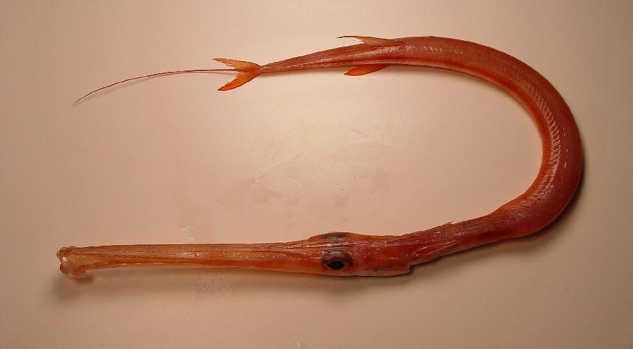 Fistularia petimba, tamén coñecido como peixe corneta, atopado nos últimos anos en Galicia. Fonte: NOAA/NMFS/SEFSC.