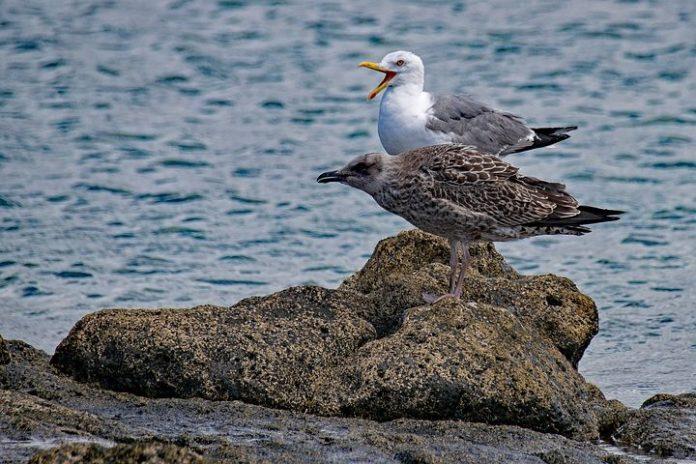 As gaivotas poden acumular contaminantes nas plumas e a través da dieta, e transmitilos aos ovos.