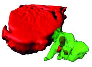"""Reconstrución dun macrófago (en verde) que captou material de refugallo do cardiomiocito (en vermello) a través das exoferas, identificadas no artigo publicado en """"Cell"""". Fonte: CNIC."""