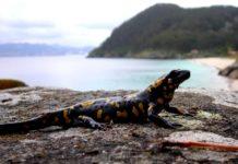 Unha das píntegas da especie S.s. gallaica na illa de San Martiño, onde amosan comportamento diurno e reprodución puerípara. Fotos cedidas por Guillermo Velo Antón.