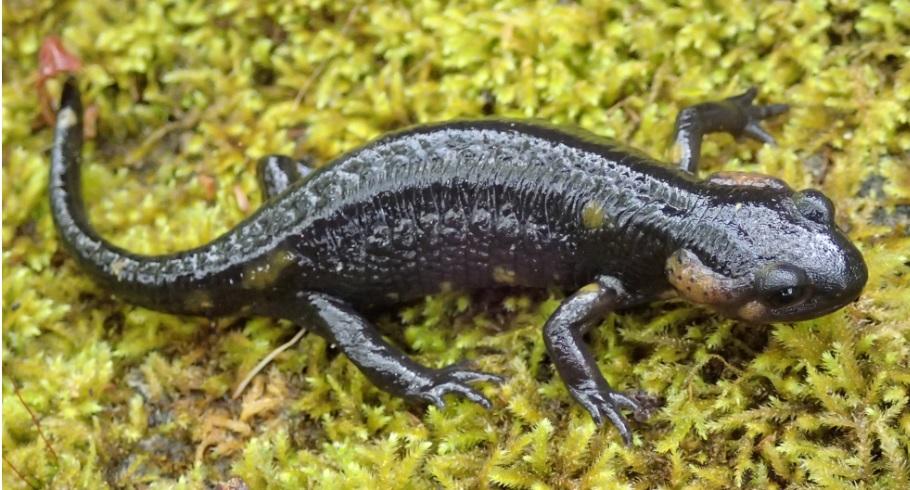 Píntega de Ons, con comportamento nocturno, reprodución puerípara e tendencia ao melanismo (cor negro na pel).