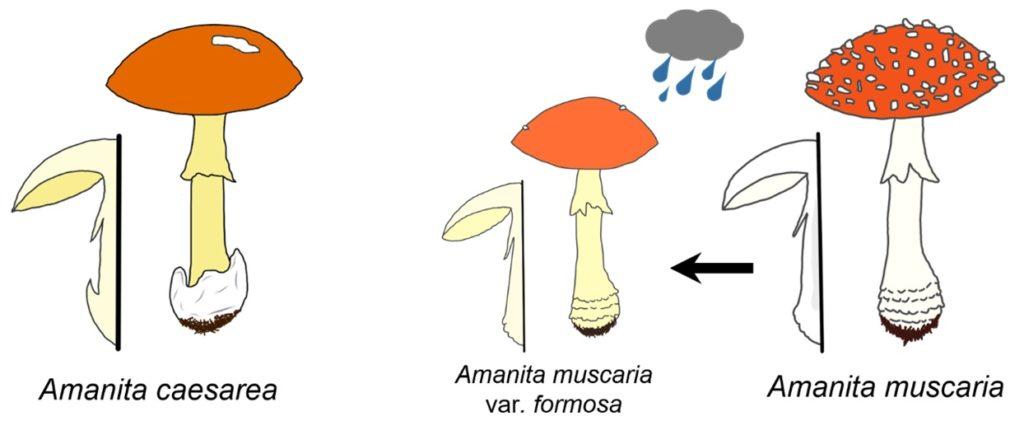 """Figura 1. Na esquerda temos o cogomelo da especie """"Amanita caesarea"""" (comestible e moi apreciada) e """"Amanita muscaria"""" (enteóxena, causa problemas gastrointestinais en ocasións), tanto na súa forma habitual (dereita) como na variedade formosa (centro). Ilustración realizada por Mauro Rivas Ferreiro."""