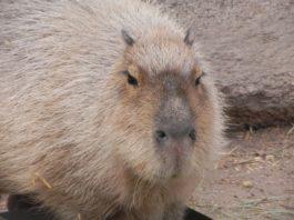 O capibara, que habita en América do Sur, pode chegar a alcanzar os 130 centímetros e superar os 60 quilos. Foto: Pixabay.