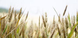 Os problemas nos pacientes celíacos prodúcense pola intolerancia ao glute, substancia presente en cereais como o trigo.