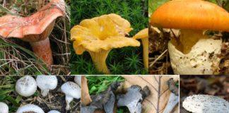 Varias especies de cogomelos comestibles e presentes en Galicia. Fonte: Wikicommons/CC BY-SA 2.0.