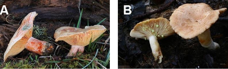 Figura 2. Lactarius deliciosus (imaxe A; Richard Daniel, 2020), coñecido comunmente como níscaro, e o falso níscaro, Lactarius chrysorrheus (imaxe B; H. Krisp, 2014).