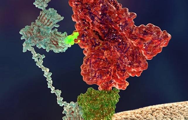 Ilustración que amosa a 'espiga' do SARS-CoV-2 (vermello) uníndose á neuropilina-1 (azul claro). Fonte: G. Balistreri.