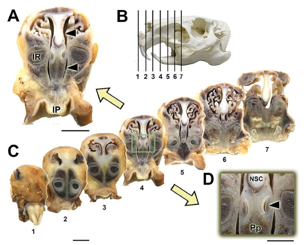 Detalle do órgano vomeronasal do capibara. Fonte: USC.