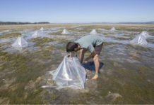 O proxecto ZEUS abordará a situación das pradarías de zostera en áreas con actividade marisqueira. Foto: Duvi.