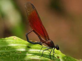 A rede pretende estimar a abundancia das poboacións de libélulas. Na imaxe, exemplar da especie 'Euphaea ornata'.