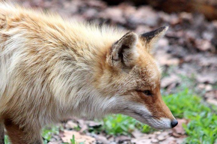 O estudo de Irene Ortiz caracteriza por primeira vez o órgano vomeronasal do raposo.