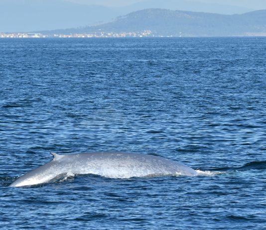 Avistamento dunha das baleas azuis localizadas en outubro de 2020 no litoral galego. Foto: BDRI.