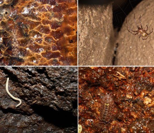 Exemplares de 'Limonia nubeculosa', 'Meta menardi', 'Dolistenus iberoalbus' e 'Oniscus asellus'. Fotos: DUVI.