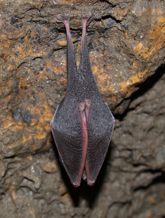 Un exemplar de Rhinolophus hipposideros, pendurado nun refuxio grazas ao mecanismo co que os morcegos conseguen ficar suspendidos durante longos períodos. Foto cedida por Roberto Hermida.