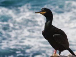 O corvo mariño cristado vese afectado pola actividade pesqueira. Foto: David Álvarez.