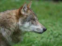 O lobo está no centro do debate despois da súa inclusión na Listaxe de Especies Silvestres en Réxime de Protección Especial. Foto: Pixabay.