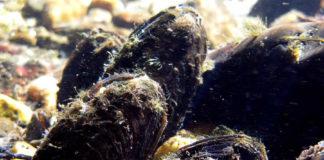 Exemplares adultos de mexillón de río. Foto: Paz Ondina.
